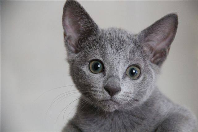 Russian Blue cats | ExclusivelyCats Blog
