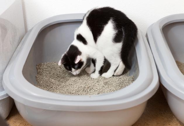 Black white  cat uses toilet